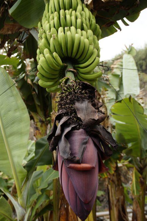 banana plantation banana cultivation cultivation