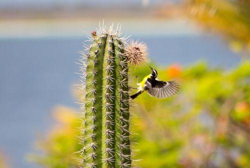 bananaquit cactus small bird