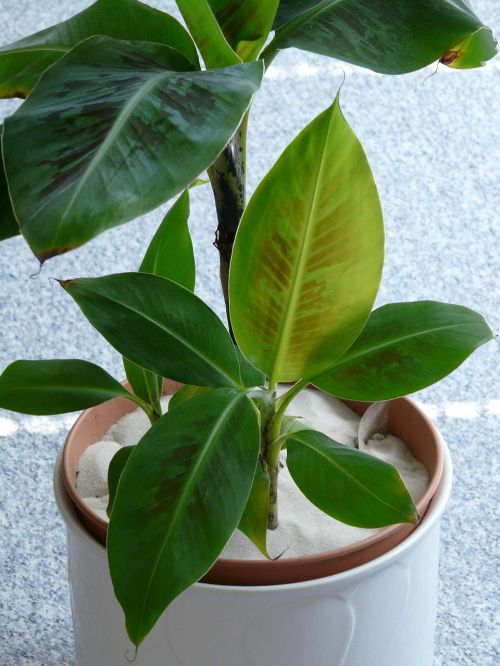 banana shrub banana tree banana plant