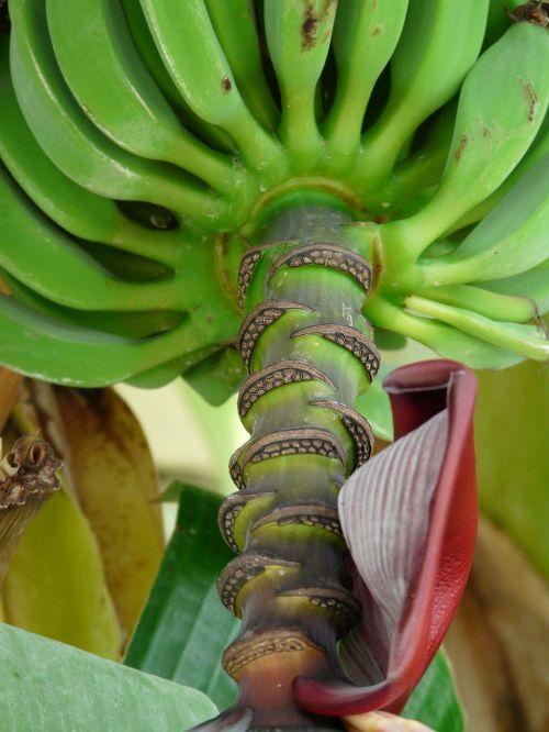 banana shrub shrub bananas