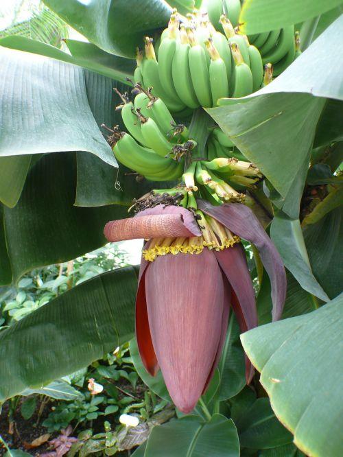 banana tree bananas shrub