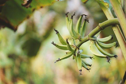 banana tree  leaf  plantation