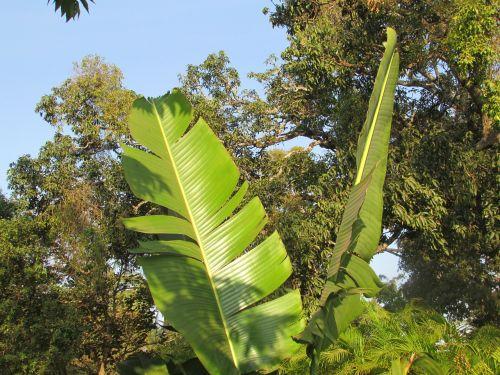 banana tree leaf palm leaf leaf