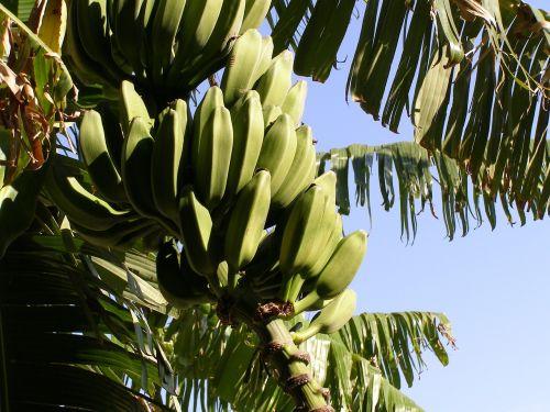 bananas shrub banana shrub