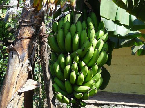 bananas fruit bunch