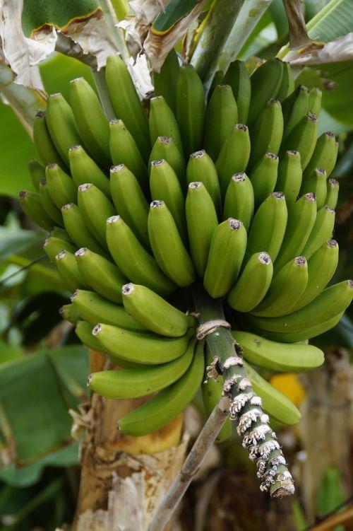 bananas banana shrub banana plantation