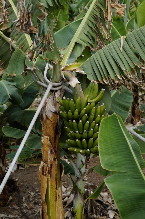 bananas banana plantation support