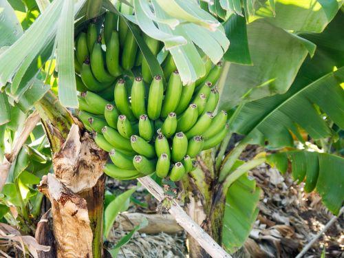 bananas green immature