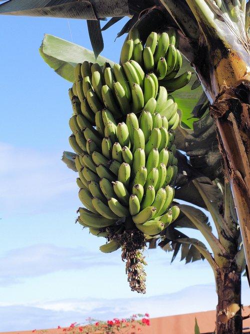 bananas  green  unripe