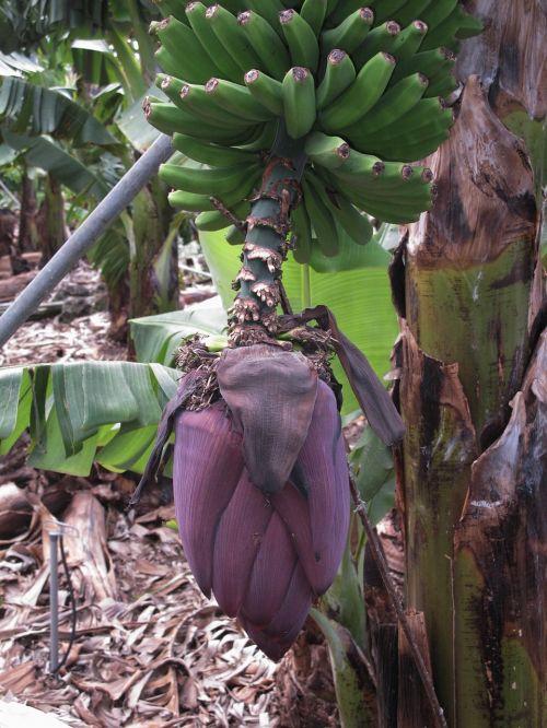 bananas banana shrub banana flower