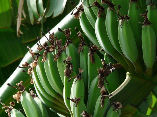 bananas banana bunch shrub