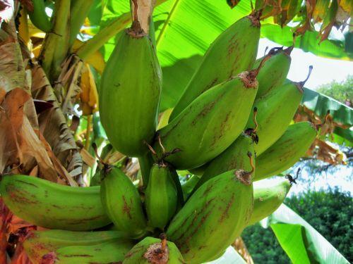 Bananas On Banana Tree