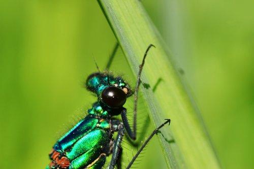 banded demoiselle  demoiselle  insect