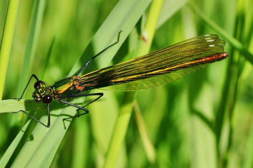banded demoiselle  dragonfly  female
