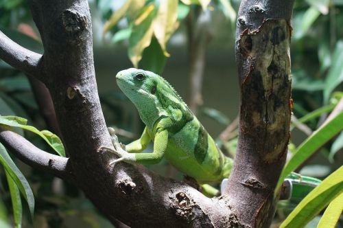 banded fiji iguana reptile striped