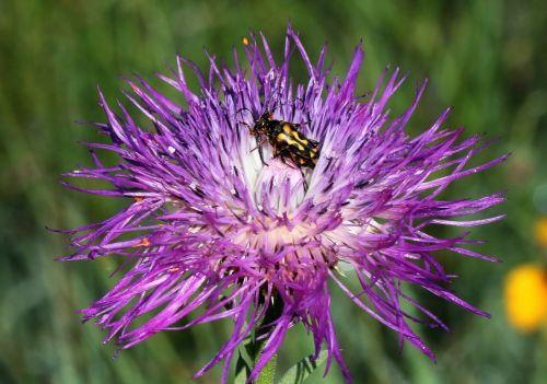 Banded Longhorn Beetle