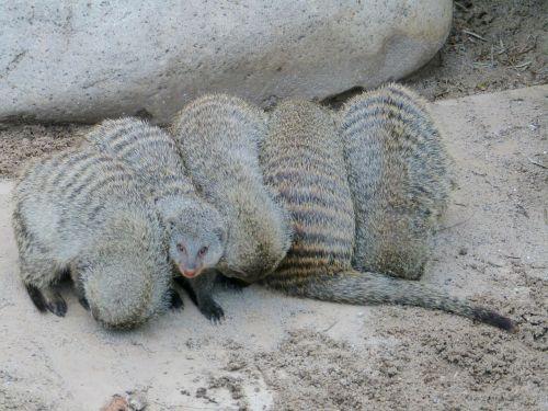 banded mongoose mammal mongoose