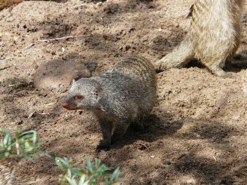 banded mongoose mungos mungo mammal