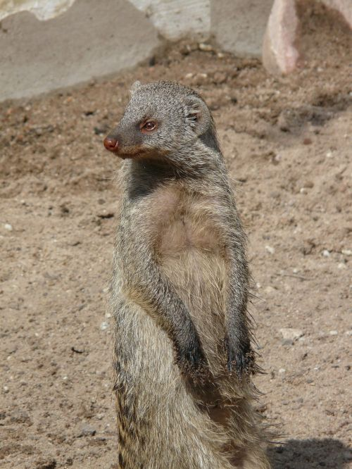 banded mongoose mongoose mammal