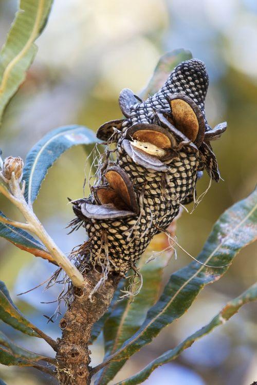 banksia banksia nut nature