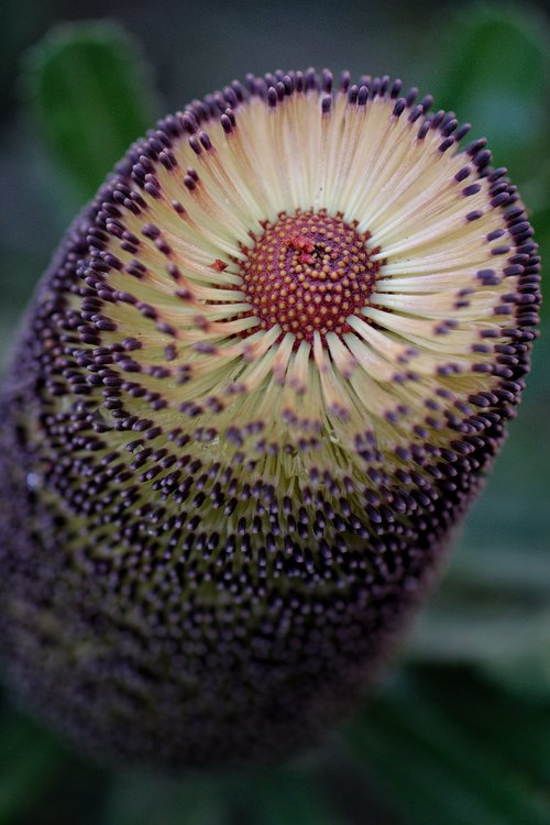 banksia  australian  native