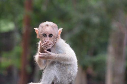 bannerghatta biological park  animal  monkey