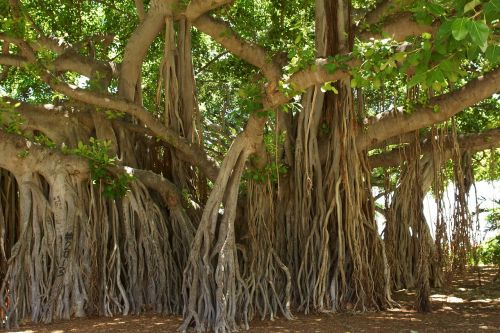 banyan tree,honolulu,hawaii