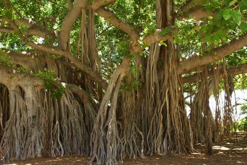 banyan tree,honolulu,Hawaii