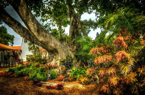 banyan tree,south florida,shangri-la,tree,nature,environment,leaves