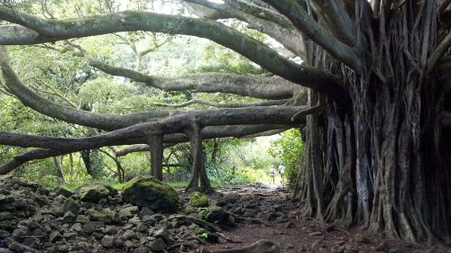 banyan tree,tree,maui,hawaii,banyon,beach,tropical,paradise,banian