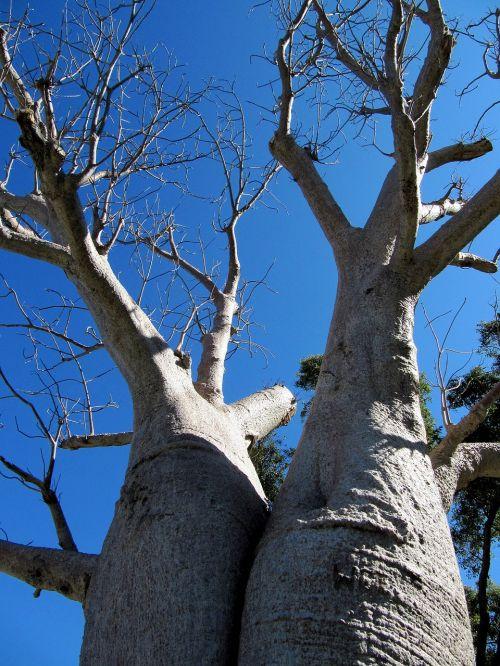 baobab perth kings park