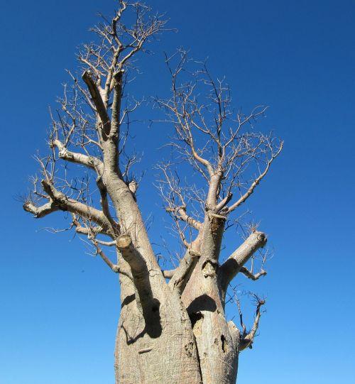 baobabas,perth,karalių parkas,medis,adansonia digitata,negyvas žiurkės medis,beždžionių duonos medis,aukštyn kojom medis,danties medaus grietinėlė,australia