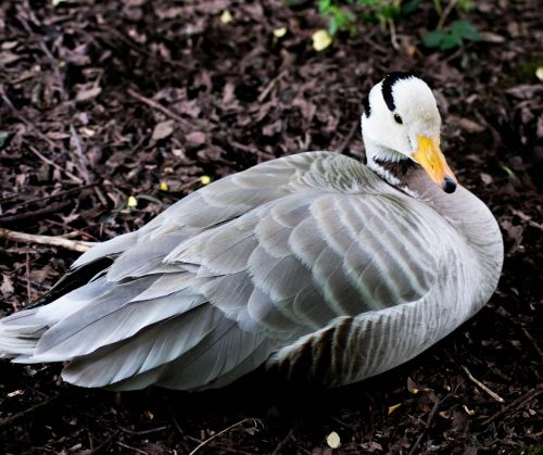 bar-headed goose bird goose