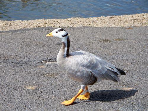 bar-headed goose goose anser indicus