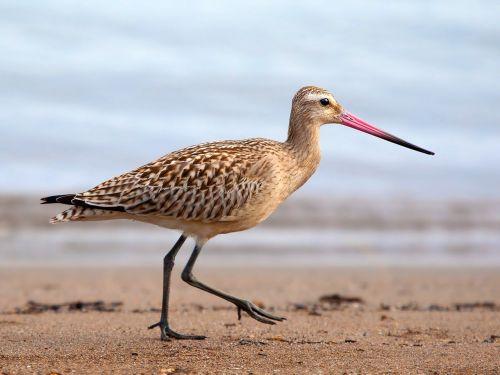 bar-tailed godwit godwit bar-tailed