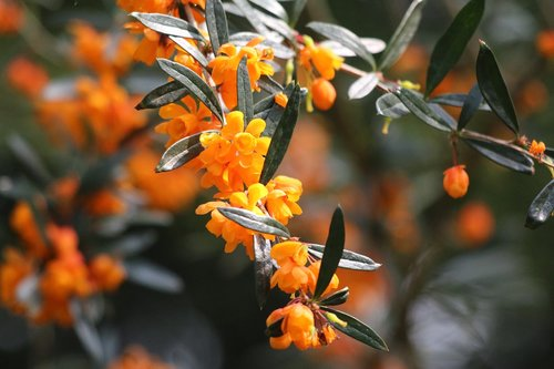 barbary  orange  shrub