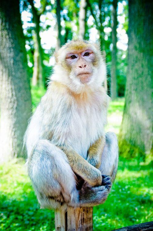 barbary ape mahogany makake
