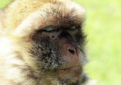 barbary ape monkey primate