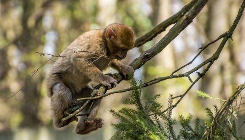 barbary ape monkey young animal