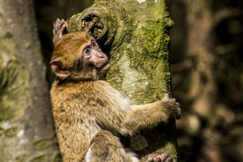 barbary ape monkey young animal