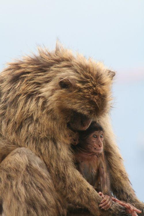 barbary ape gibraltar monkey