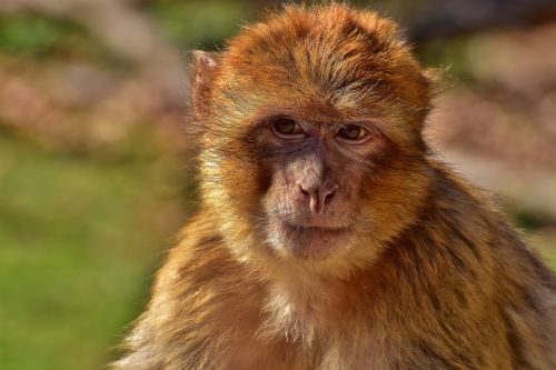 barbary ape animal äffchen