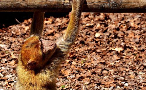 barbary ape endangered species monkey mountain salem