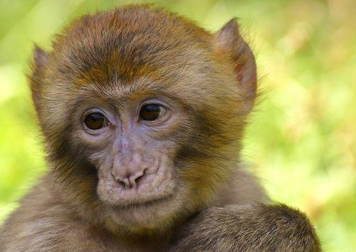 barbary ape  monkey  mammal