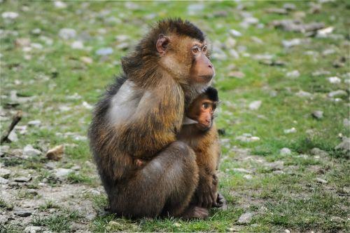 barbary ape ape barbary macaque