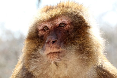 barbary ape  brown  monkey mountain in alsace
