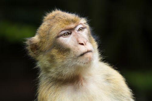 barbary ape monkey animal