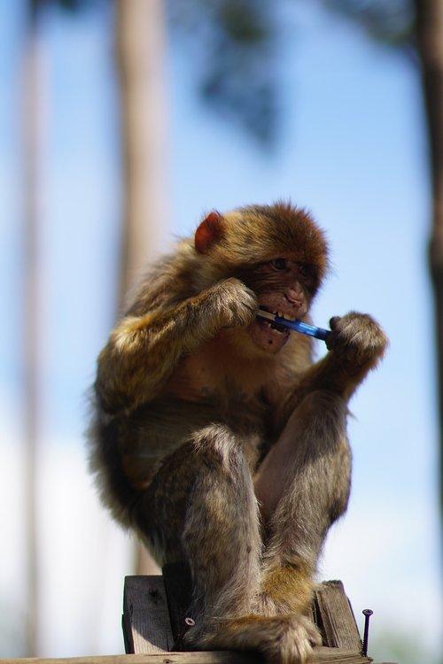 barbary ape  pen  thief