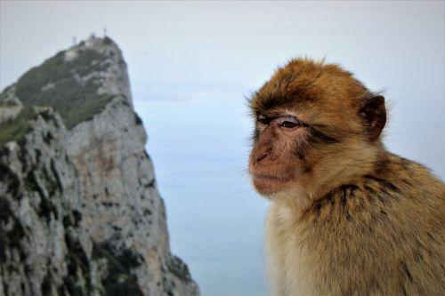 Barbary Ape At Gibraltar