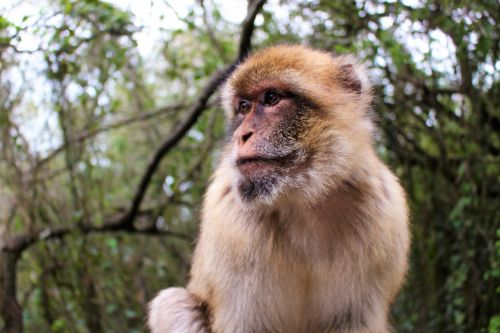 Barbary Ape In Gibraltar